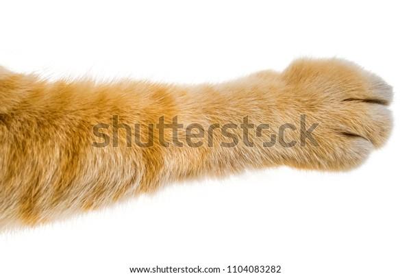 cat paw isolated on white background