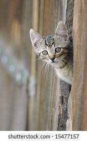 Cat peeking from a barn door