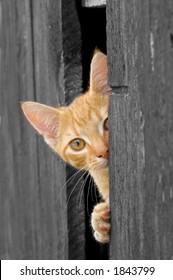Cat peeking from Barn Door (B&W with cat in color)