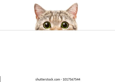 Cat peeking from behind a banner, isolated on white background