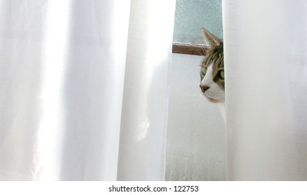 Cat peeking out from behind curtain