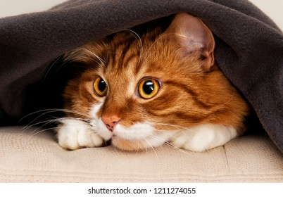 cat peeking out from under blanket