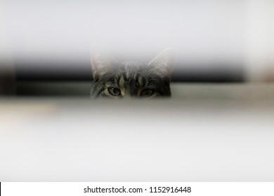 A cat peeking through window blinds. Conceptual image for peeking, a funny cat, or various purpose.