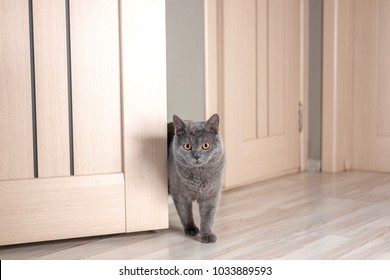 cat peeks around corner, beautiful gray british cat with yellow eyes, cat looks out from behind door