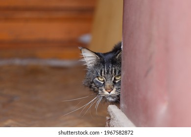 The cat peeks around the corner. Maine Coon cat. Beautiful cat face. The cat peered cautiously around the corner
