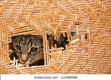 cat Peeps into a ragged slit of wicker, rattan furniture