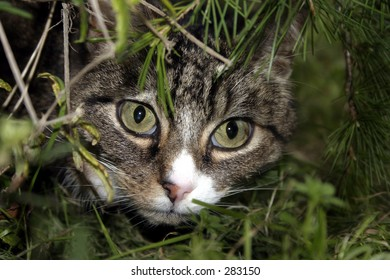 A cat peering out through a hole in some bushes.