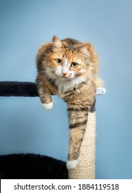 Cat perched on cat tree, front view. The cat is launching comfortable with one paw hanging. Concept for cats love perching or cats feel save high up. Selective focus on cat face.