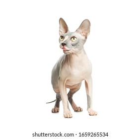 Cat pet isolated on white background