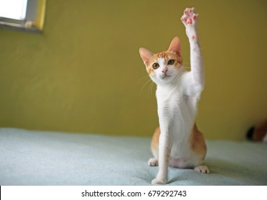cat playing  hand up