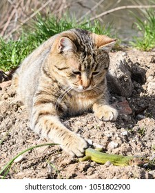 cat playing with a lizard on a green meadow in sunny weather
