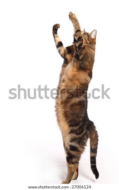 Cat playing on white background