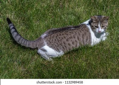 Cat playing outside - Lombard, Illinois, July 7, 2018