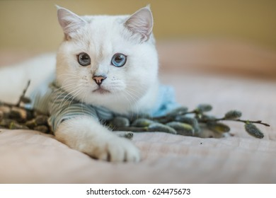 Cat is playing in the willow  branches. White fluffy cat is played at home on a bed in the branches. Beautiful cat with blue eyes