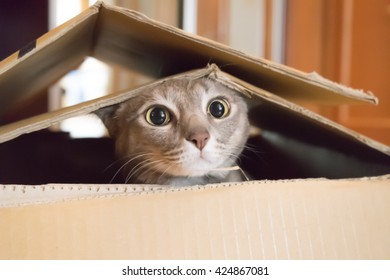 A cat plays hide and seek in a cardboard box