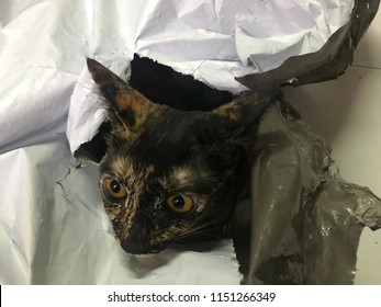 A cat plays hide and seek in a plastic bag