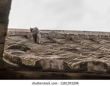 Cat pooping on tiled roof of Tulou at Unesco heritage site near Xiamen