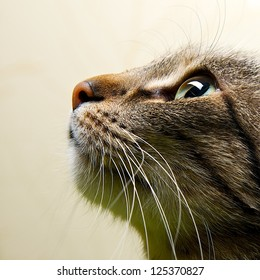 Cat portrait close up, only head crop, looking to the top, cat in light brown and cream looking with pleading stare at the viewer with space for advertising and text, cat head
