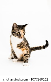 Cat Portrait on White Background