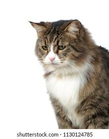 Cat portrait on white isolated background