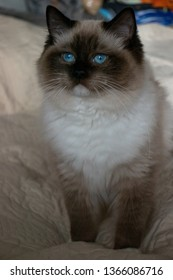 Cat portrait. Seal Mitted Ragdoll kitten. Soft fur, blue eyes. Cute and adorable kitty. Yellow background.