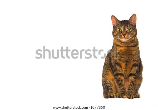 Cat posing looking straight ahead.