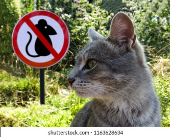 cat protects and preys on mice on the background of the sign prohibition of mice. The concept of no mice and rats .
