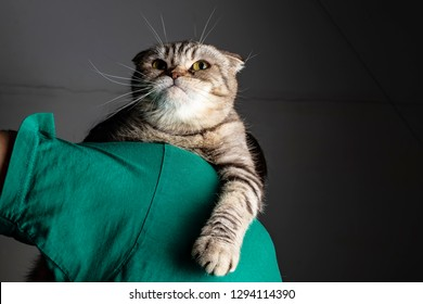 cat with a proud look, and lowering one paw, sits on the shoulder of a person in a green T-shirt