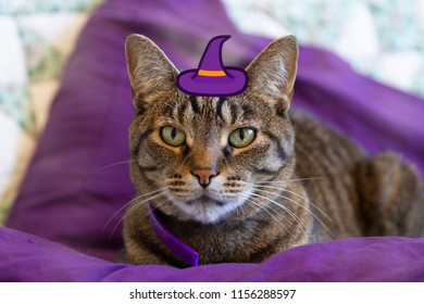 A cat in a purple witch hat for Halloween Theme.