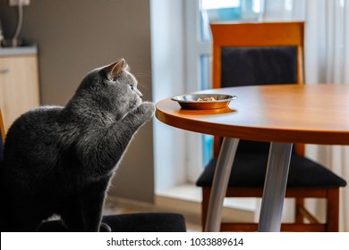 cat is reaching for food,  food on table, sly cat, cat is sitting at table, harmful