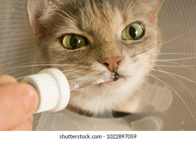 Cat receives medicine by means of a pipette
