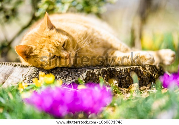 A cat relaxing on a beautiful lightful shiny spring sunny summer morning day near breeze flower plants growing crocus bright yellow orange purple and white snowdrop in a green flowering park with bees