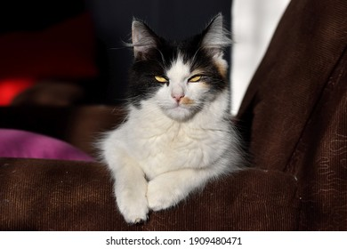 The cat is resting on the couch and has a murderous look in her yellow eyes. The serious cat is lying in a sunlit place.