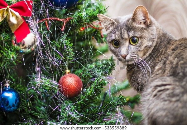 cat with round eyes and playful near the Christmas tree