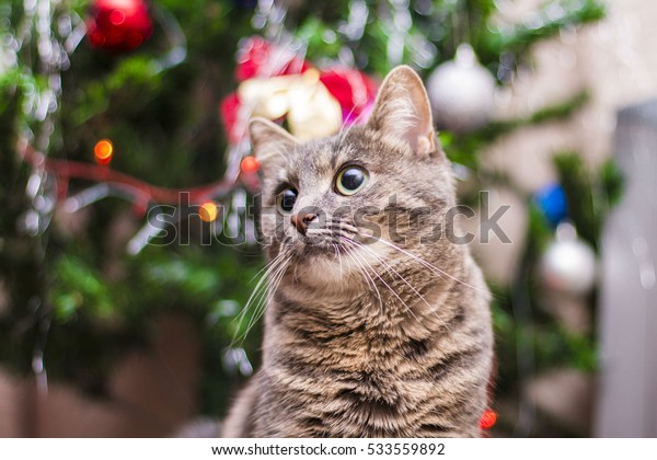 cat with round eyes and playful on the background of the Christmas tree