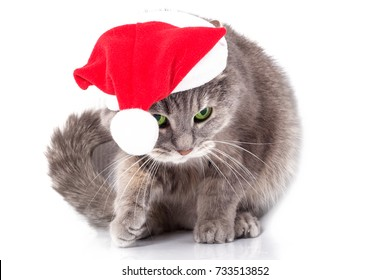 Cat in Santa Claus's cap. The gray cat in a red New Year's hat has bent down and has raised a paw. It is isolated on a white background