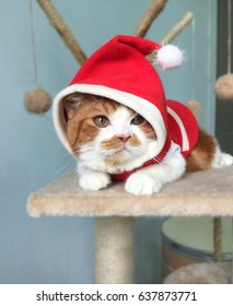 Cat Santa, Wonderful Scottish Fold cat with Santa Claus hat.