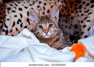 Serval Cat Isolated Images, Stock Photos & Vectors