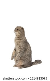 Cat , Scottish fold cat sitting and looking isolate background ,clipping path included.