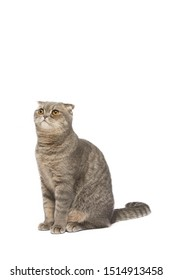 Cat , Scottish fold cat sitting and looking up ,isolate background ,clipping path included.
