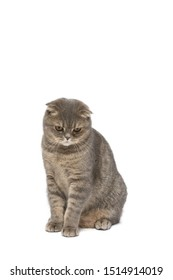 Cat , Scottish fold cat sitting and looking down , isolate background ,clipping path included.