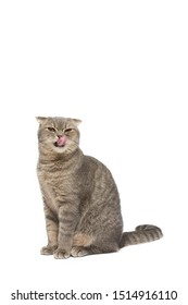 Cat , Scottish fold cat sitting and stick out tongue, isolate white background ,clipping path included.