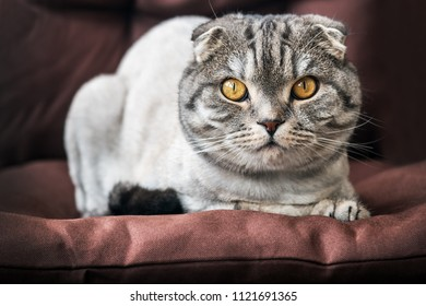 cat Scottish fold trimmed without a sad look