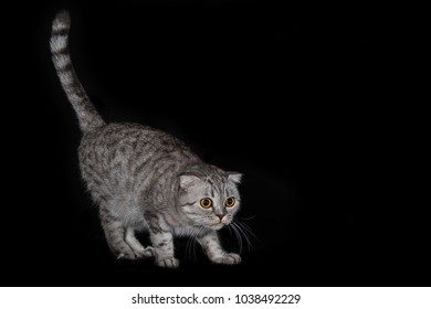 Cat of the Scottish Frog breed on a black background