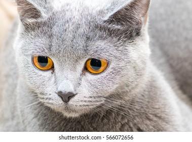 Cat Scottish Straight breed with orange eyes