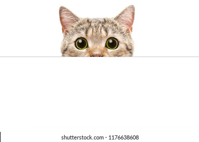 Cat Scottish Straight peeking from behind a banner, isolated on white background