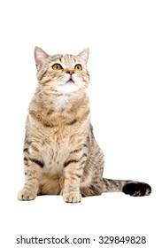 Cat Scottish Straight, sitting looking up, isolated on white background