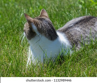 Cat searching the lawn - Lombard, Illinois, July 7, 2018