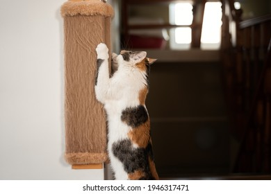 Cat sharpens its claws on scratching post. Colorful red-white-black cat stands on its hind legs and sharpens its claws on a brown wall scratching post side view