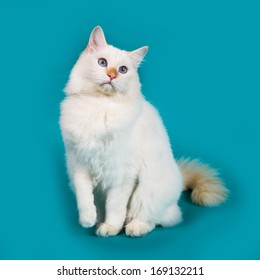 cat Siberian breed, color point colors of wool, blue eyes